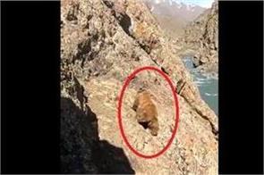 people stone pelted a bear in drass kargil