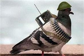 pakistani spy pigeon arrest in arnia