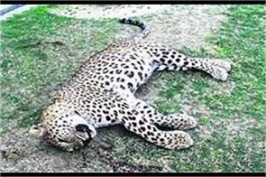 leopard found dead on katra rail track