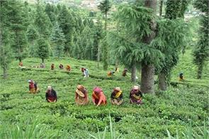 tea production in the country was 5 42 per cent lower