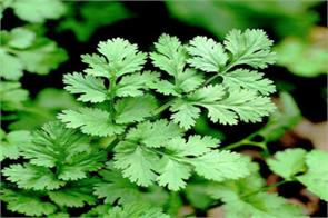 muted demand drags down coriander futures by 1 58