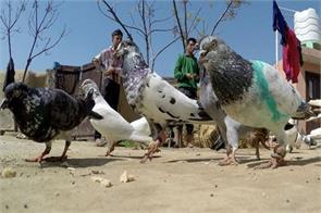 cid investigate smuggled to spy pigeons