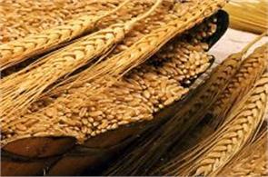 farmers await planted wheat msp announcement