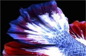 thai fish national flag colors sells record sum
