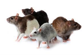 this particular rat will fight terrorism