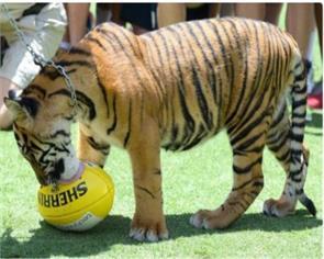 tiger attacks keeper at australia zoo