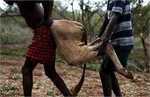 kenyan tribes men spear a bull and drink its blood