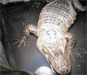 alligator living in basement of suburban home found after 26 years