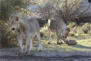 hungry lioness spent minutes trying to crack open a tortoise