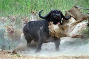 buffalo attack on 12 lions to save bull lion tosses airpride attacks