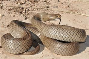 the venomous snakes are found in australia