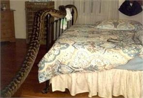 australian woman finds 16 feet python in her bedroom
