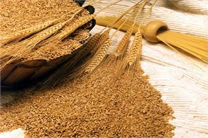 wheat gram