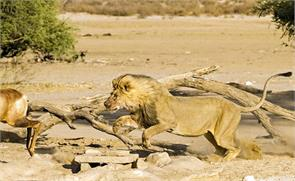 amazing pictures shows hungry lion attack antelope in south africa
