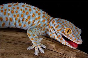 lizards gecko aids treatment