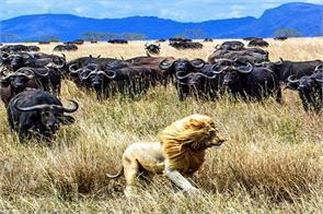 lion buffalo