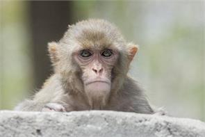 the department claims the monkey menace will end soon