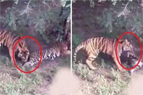 tigress killed by hungry tiger at zoo in china