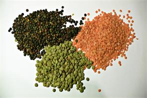 lentils pulses cultivation