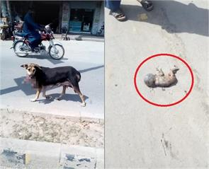 a dog running with fetus in pakistan
