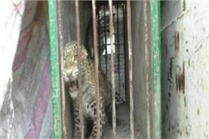 fear of a horror captured in the cage of leopard forest department