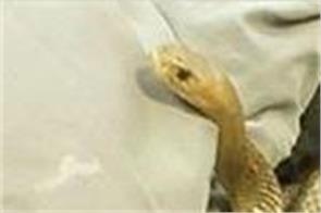 deadly eastern  snake caught in australian couple  s bed