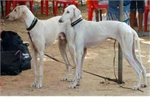for the first time in the army indigenous breed dogs