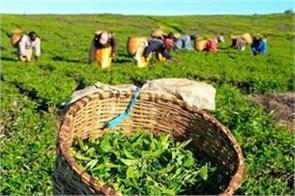 relief to tea growers  cases of iron filings will be closed