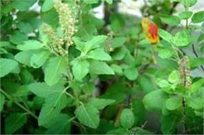 chant this mantra while breaking tulsi leaves