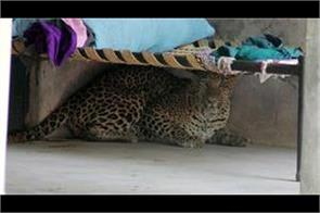 leopard seen in a viilage of udhmpur