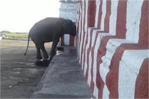 elephants visits to temple keep forest staff on tenterhooks