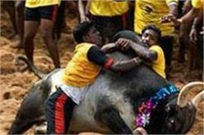 today will jallikattu