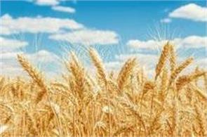 ministry of agriculture  wheat