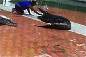 crocodile attack on trainer during show