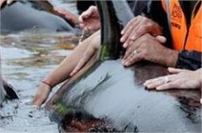 200 whales stranded on farewell spit new zealand returned to the water