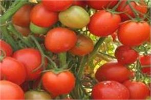 25 kg tomato plant in a vision