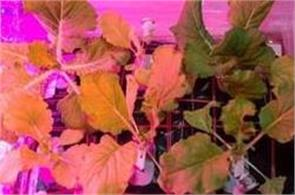 nasa astronauts have grown cabbage on   international space station