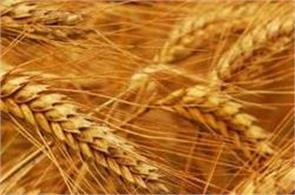 govt slaps 10  import duty on wheat  tur dal