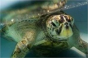turtle named bank had 915 coins removed from stomach