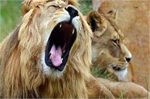 lions in gujarat street
