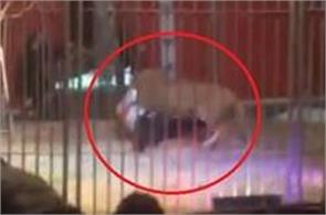 france lion attack on man in circus