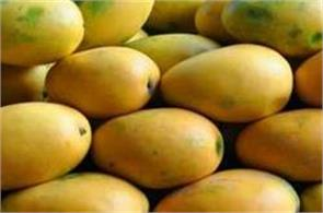 innova agri to export 300 tons of mangoes to australia