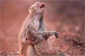 heartbroken monkey clutches her child after it collapsed