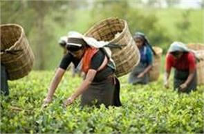 india records new record in tea production in 2016 17
