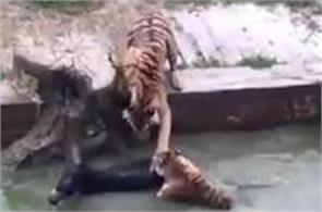 live donkey fed to tigers in china zoo after dispute