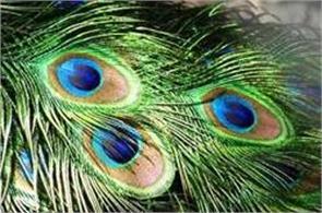 importance peacock feather in vastu