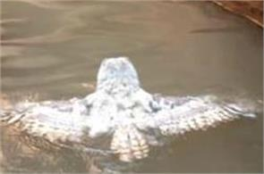 viral video owl swimming over 2 lakh views