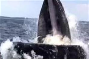 humpback whale tries to capsize boat video viral