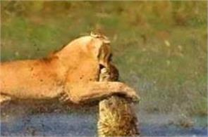 mother lioness risks life to save her cubs from crocodile