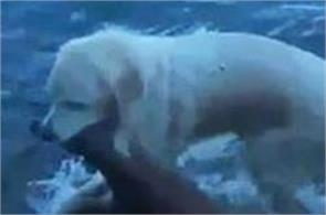 video dog saves baby beer from drowning